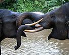 Dua Gajah Sumatera Yang Sedang Bermain