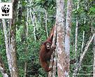 Bobo, Orangutan Sumatra, yang dilepaskan ke alam liar di kawasan Bukit Tigapuluh