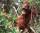 Heart of Borneo, Alain Compost, Bornean Orangutan