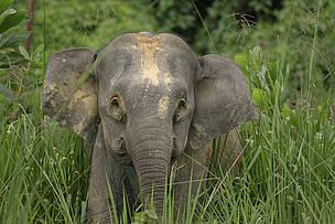 Gajah kerdil Borneo di Area Konservasi Danum Valley, Sabah, Malaysia
