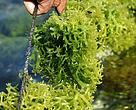 Panen rumput laut jenis Cottoni di Alor.
