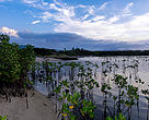 Mangrove reforestation in North Bali Coastal