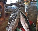 From sea to sashimi, a shimmer of hope for Indonesia's tuna