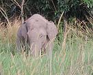 Gajah liar di sekitar Danau Buatan-Rumbai-Pekanaru