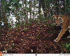 Harimau Sumatera yang tertangkap kamera otomatis di Suaka Margasatwa Rimbang Baling TNBBS