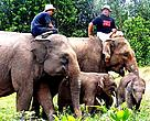 Tesso and Nella, new members of the WWF's elephant Flying Squad, © WWF-Indonesia