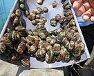 Perbedaan Tekstur Warna Juvenil Abalone Karena Pemberian Pakan Alami yang Berbeda