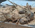 Lobster-lobster di Susi Lobster
