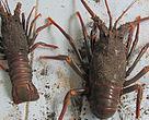 Jenis Lobster hasil tangakapan menggunakan jaring