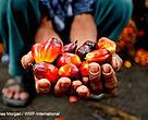 Kelapa sawit di Indonesia