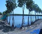 Kondisi Mangrove di Tambak Bandeng