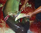 Mutilation of scalloped hammerhead (<i>Sphyrna lewini</i>)