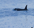 Kemunculan Orca kedua kalinya di Uluwatu, Bali (9/9), kejutkan wisatawan