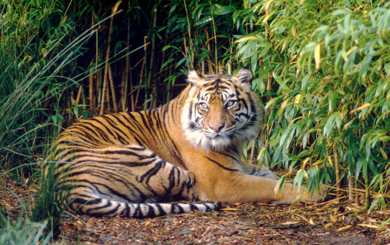 Harimau Sumatera Jangan Sampai Punah Wwf Indonesia