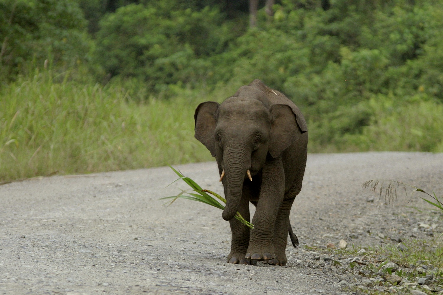 Until recently the Borneo pygmy elephants were believed to ...