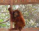 Orangutan di Desa Sungai Rasau