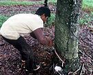 Perkebunan Karet di Palembang, Sumatera
