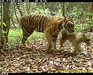 Sumatran Tigress and cubs in a wildlife corridor between Bukit Tigapuluh National Park and Rimbang Baling Wildlife Reserves. Image from camera trap installed by WWF-Indonesia's Tiger Research Team in April 2011.