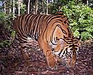 Sumatran Tiger (Harimau Sumatera)