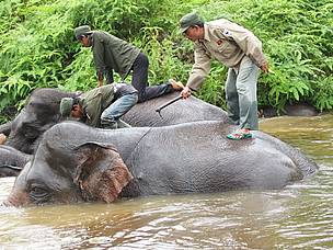 Roji captured Flying Squad's mahouts bathing the Flying Squad's elephants in a small river inside ... / ©: WWF-Indonesia/ROJI
