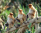 Bekantan (Nasalis larvatus) adalah salah satu satwa endemik Kalimantan yang dapat dijumpai di Desa Melemba, selain orangutan jenis Pongo pygmaeus-pygmaeus.