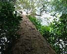 Mersawa tree (Anisoptera spp.) in Bukit Tigapuluh national park, Riau, Indonesia.