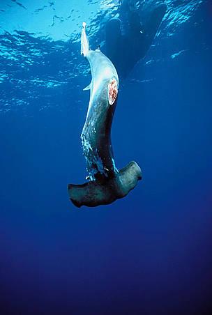 WWF-Indonesia Commends Garuda Indonesia for Shark Fin Embargo
