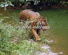 Harimau Sumatra(Panthera tigris sumatrae) di Kebun Binatang Ragunan, Jakarta, Indonesia
